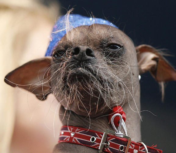Ugliest dog in Britain, Mugly, wins world ugliest dog